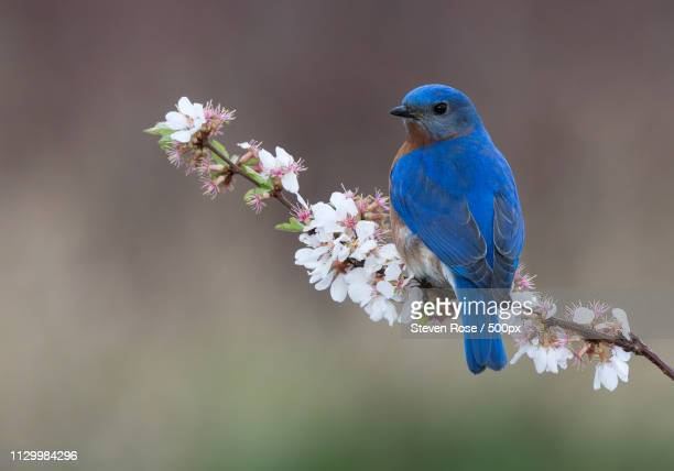 eastern bluebird perching on twig - eastern bluebird stock pictures, royalty-free photos & images