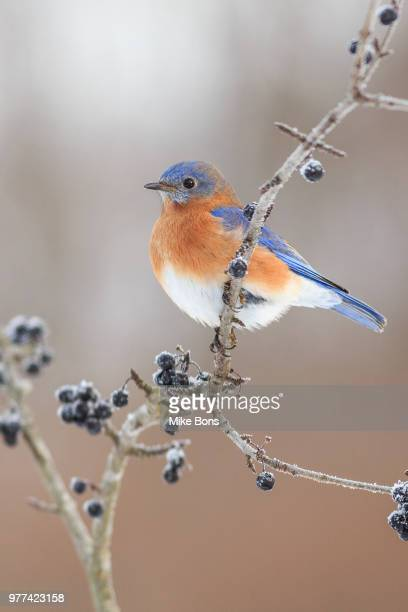 eastern bluebird (sialia sialis) perching on twig, stirling-rawdon, ontario, canada - eastern bluebird stock pictures, royalty-free photos & images