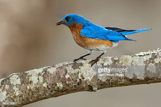 eastern bluebird perching - blacksburg stock pictures, royalty-free photos & images