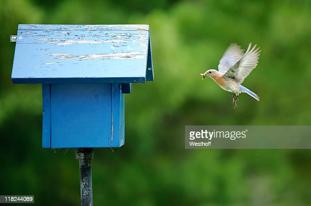 eastern bluebird - birdhouse stock pictures, royalty-free photos & images