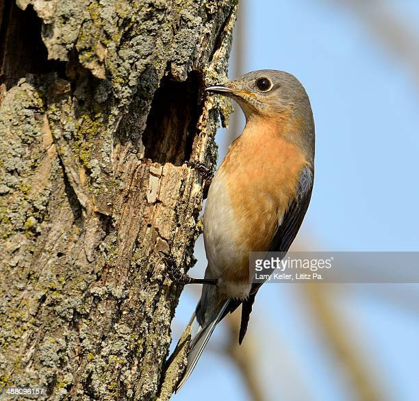 eastern bluebird - eastern bluebird stock pictures, royalty-free photos & images