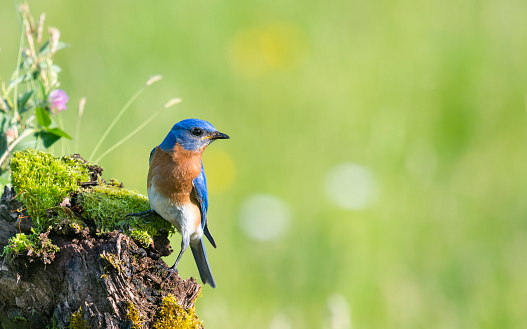Eastern Bluebird, Sialia sialis, male bird perching 540128322