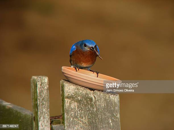 eastern bluebird with a mealworm - mealworm stock photos and pictures