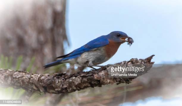 Eastern Bluebird With Beetle - Sialia sialis