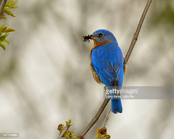 Eastern Bluebird with insects