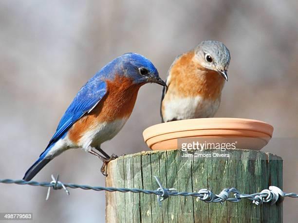 Eastern bluebirds couple