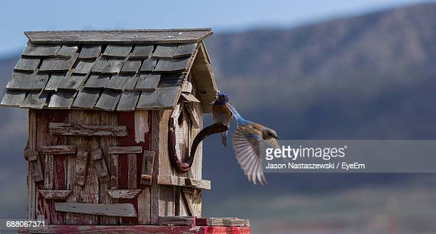 eastern bluebirds flying by birdhouse - eastern bluebird stock pictures, royalty-free photos & images