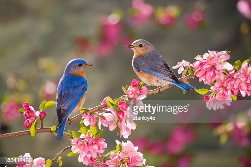Eastern Bluebirds Male And Female Stock Photo  Getty Images-6723