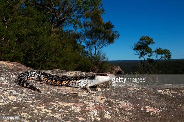 Eastern bluetongue lizard Tiliqua scincoides at dusk Blue Mountains New South Wales Australia
