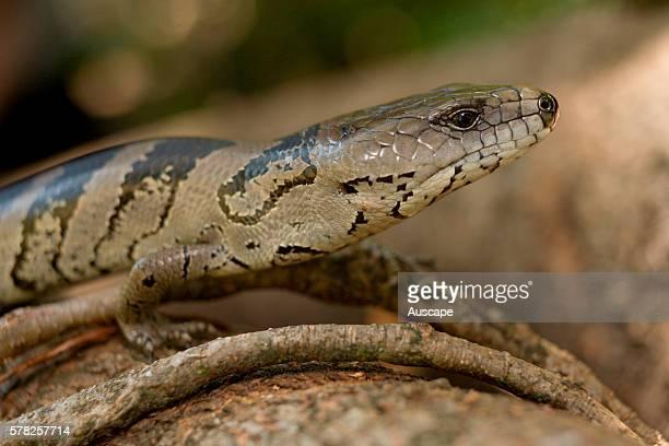 Eastern bluetongue lizard Tiliqua scincoides fore body Wollumbin National Park New South Wales Australia