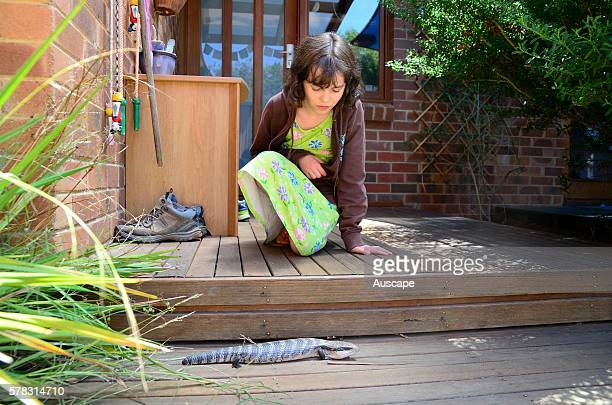 Eastern bluetongue lizard Tiliqua scincoides visiting a suburban garden to fascinate a child Canberra Australian Capital Territory Australia