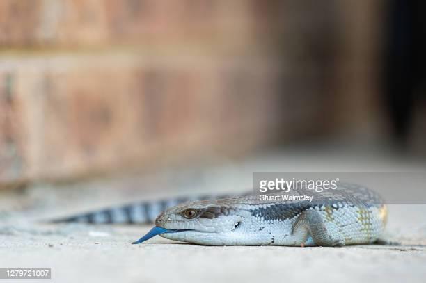 eastern blue-tongued lizard - 動物の舌 ストックフォトと画像