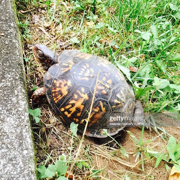 eastern box turtle digging hole in field - box turtle stock photos and pictures