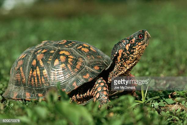eastern box turtle in the grass - box turtle stock pictures, royalty-free photos & images