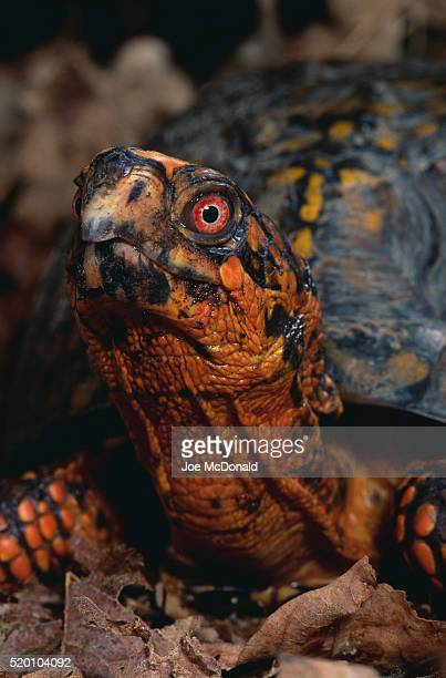 eastern box turtle - box turtle stock pictures, royalty-free photos & images