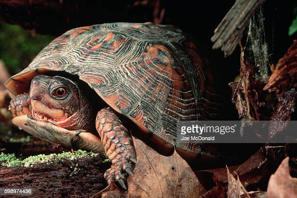 eastern box turtle - box turtle stock photos and pictures