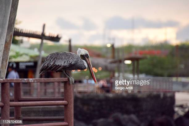 Eastern brown Pelican on a pier in Galapagos