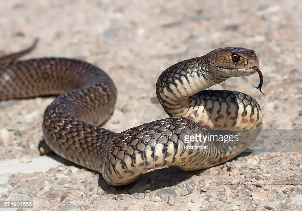 eastern brown snake flicking tongue (pseudonaja textilis) - snake stock pictures, royalty-free photos & images