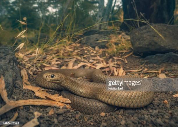 Eastern brown snake (Pseudonaja textilis), Melbourne, Australia