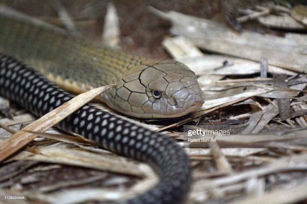 Eastern Brown Snake : Stock Photo