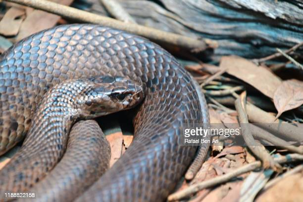 eastern brown snake - rafael ben ari stock pictures, royalty-free photos & images