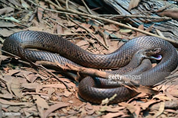 eastern brown snake - rafael ben ari 個照片及圖片檔
