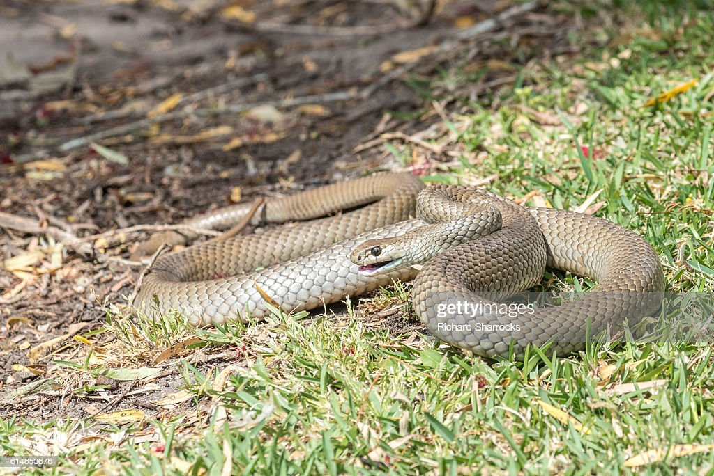 Eastern Brown snake : Stock Photo