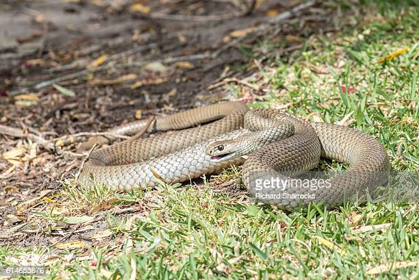 eastern brown snake - brown stock pictures, royalty-free photos & images