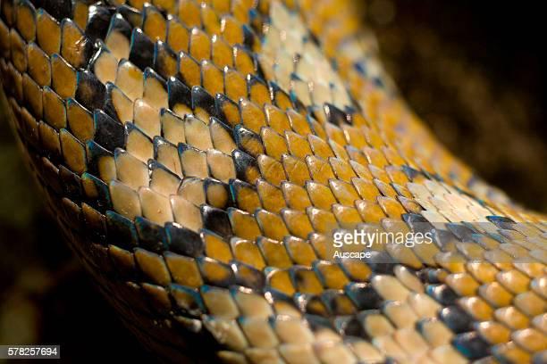Eastern carpet python Morelia spilota mcdowelli skin pattern Wollumbin National Park New South Wales Australia