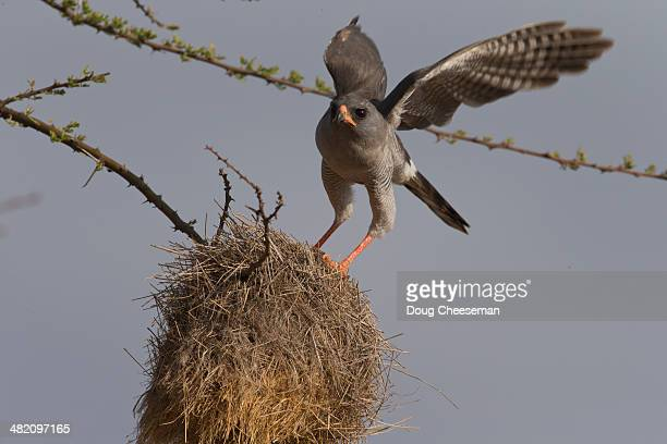 eastern chanting goshawk - hawk nest stock photos and pictures