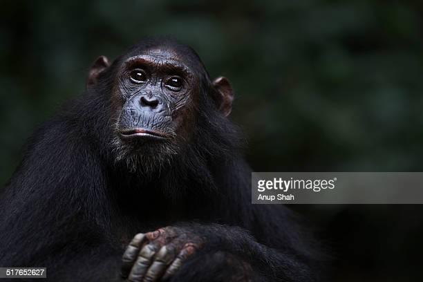 Eastern chimpanzee adolescent female 'Glitter'