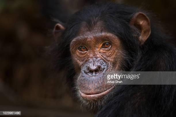 Eastern chimpanzee adolescent male 'Sinbad' aged 12 years portrait