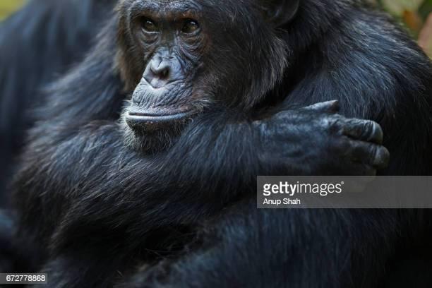 Eastern chimpanzee Alpha male 'Ferdinand' aged 20 years portrait
