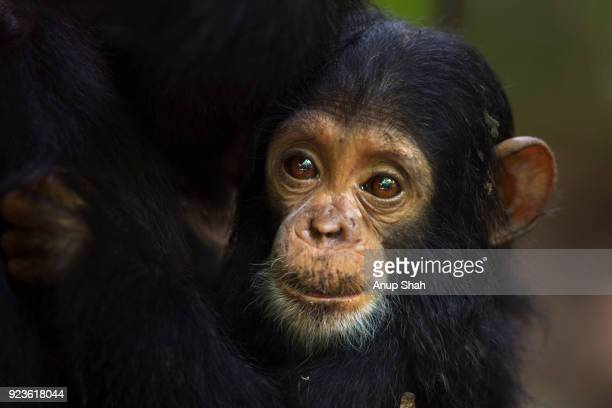 Eastern chimpanzee female baby 'Tarime' aged 7 months peering from behind her mother