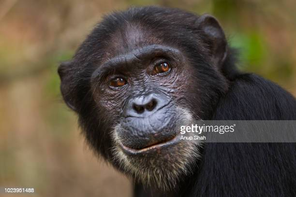 Eastern chimpanzee female 'Dilly' aged 27 years portrait