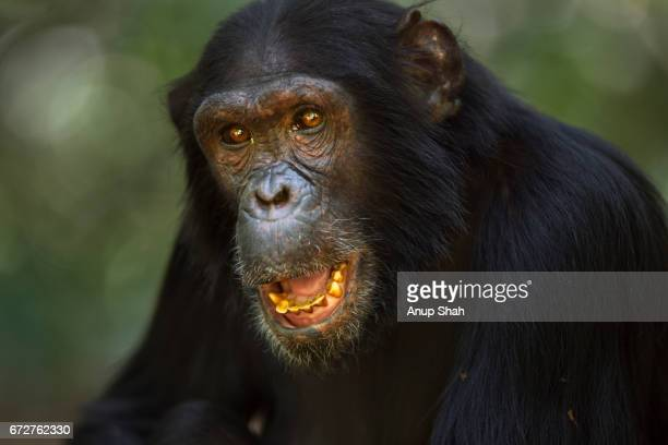 60 Top Angry Chimpanzee Pictures, Photos and Images - Getty