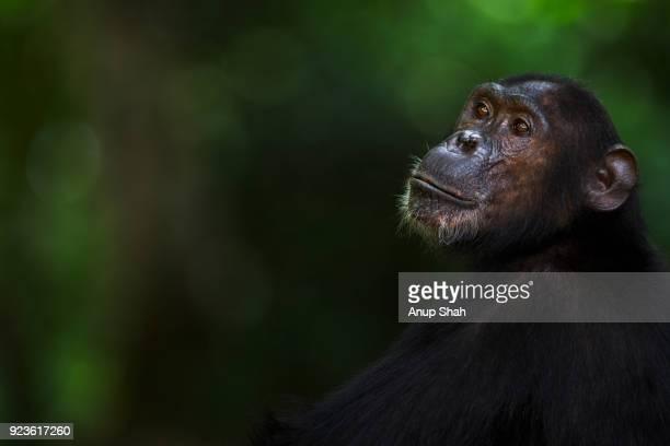 Eastern chimpanzee female 'Gaia' aged 20 years portrait