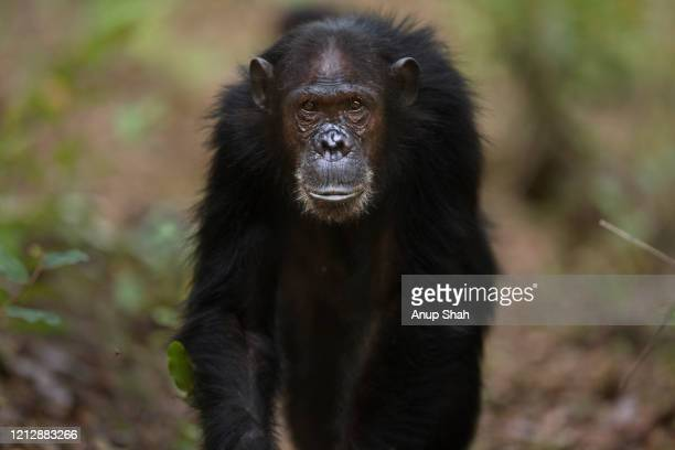 eastern chimpanzee female 'gaia' aged 21 years walking - portrait - female animal stock pictures, royalty-free photos & images