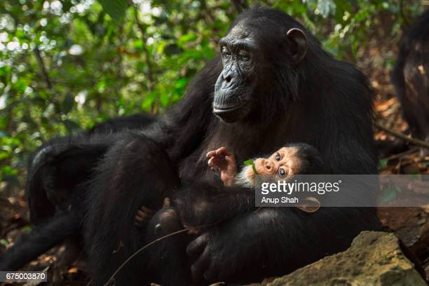 Eastern chimpanzee female 'Glitter' aged 14 years with her baby daughter 'Gossamer' aged 4 months