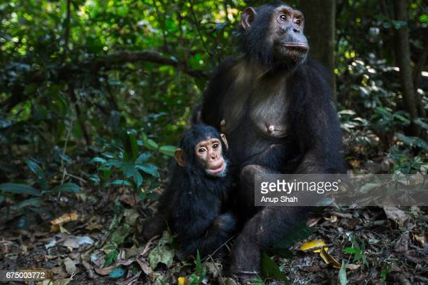 Eastern chimpanzee female 'Golden' age 14 years sitting with her daughter 'Glamour' aged 1 year