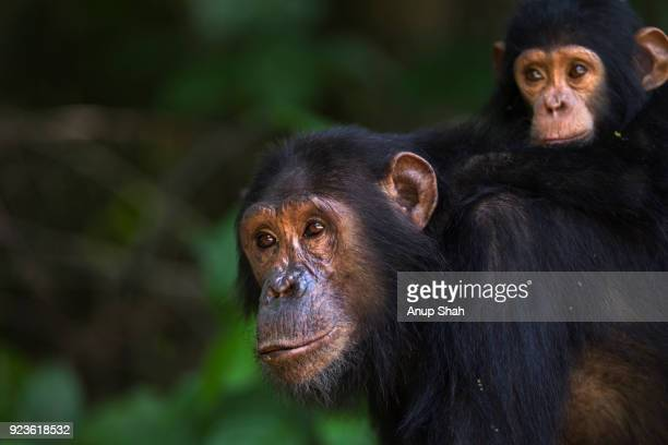 Eastern chimpanzee female 'Golden' aged 15 years carrying her daughter 'Glamour' aged 21 months on her back