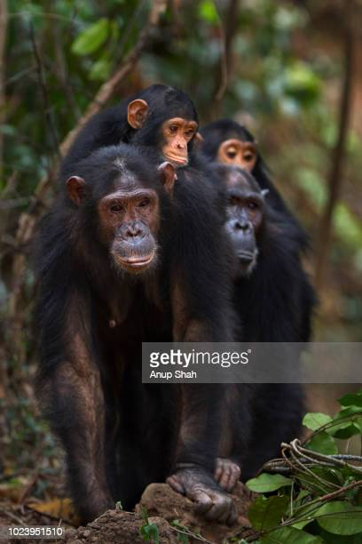 Eastern chimpanzee female 'Golden' aged 15 years with her sister 'Gaia' aged 20 years walking carrying their infants on their backs