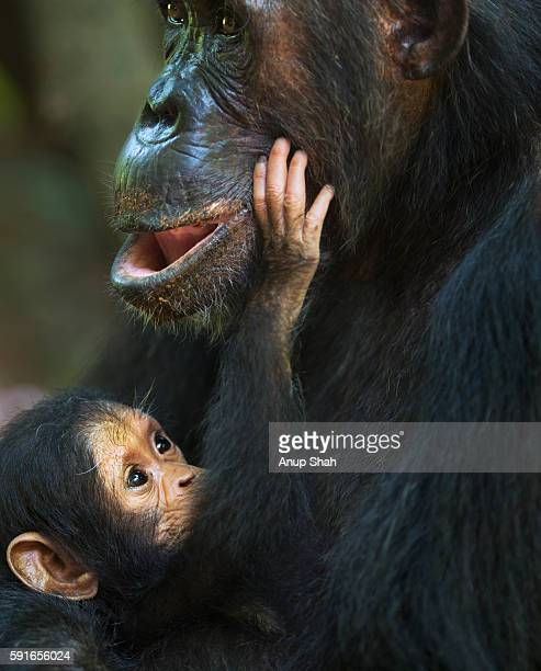 Eastern chimpanzee female 'Gremlin' aged 40 years holding her daughter 'Glitter's' first born daught