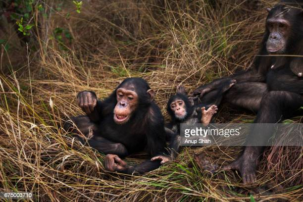 Eastern chimpanzee female 'Gremlin' aged 41 years grooming her daughter 'Golden' aged 14 years while their families play