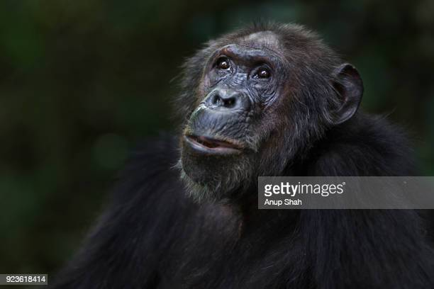 Eastern chimpanzee female 'Gremlin' aged 42 years portrait