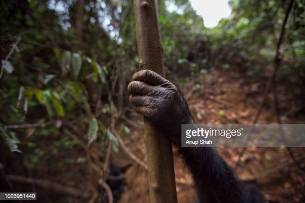 Eastern chimpanzee female hand holding a branch