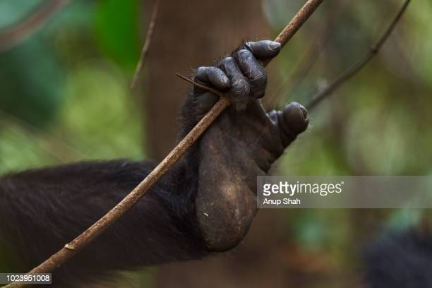 Eastern chimpanzee female 'Sandi' aged 40 years foot holding a vine