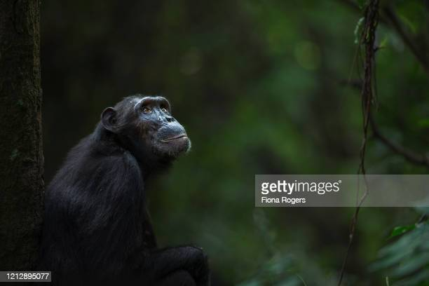 eastern chimpanzee female 'sandi' aged 40 years sitting portrait - great ape stock pictures, royalty-free photos & images