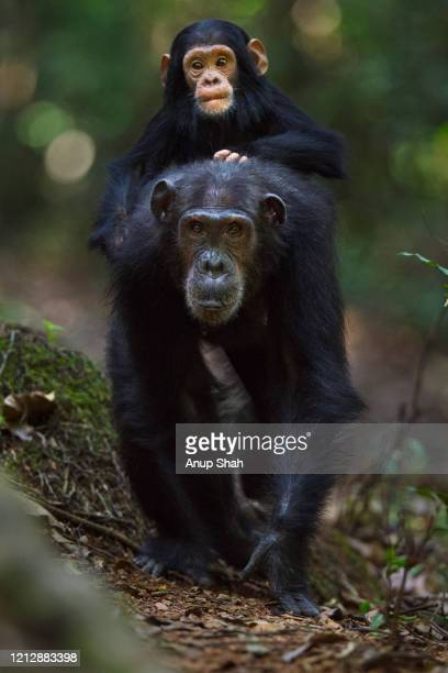eastern chimpanzee female 'schweini' aged 23 years carrying her infant son 'shwali' aged 20 months on her back - chimpanzee stock pictures, royalty-free photos & images