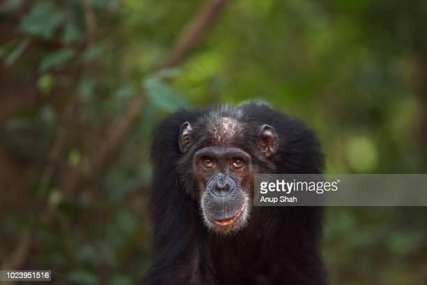 Eastern chimpanzee female 'Sparrow' aged 55 years portrait